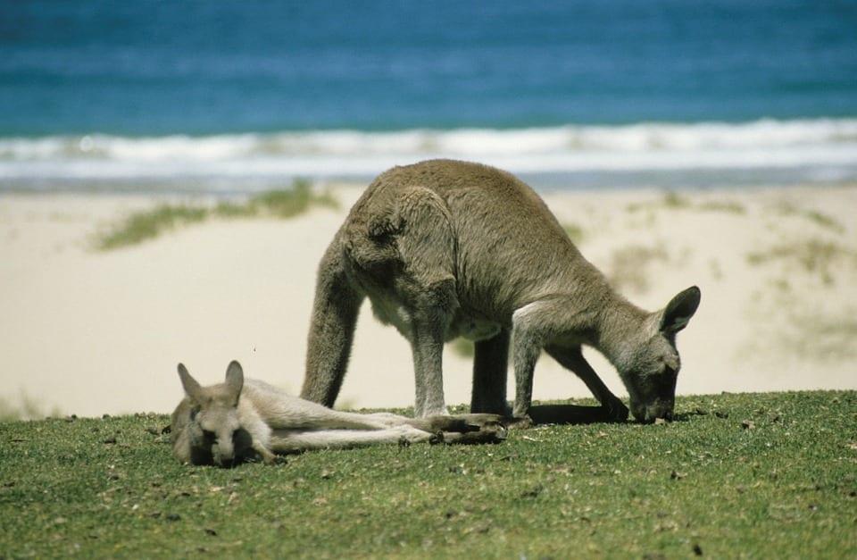 kangaroo-246777_960_720